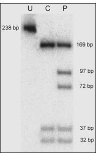 pcr/rflp analysis for the melas a3243g mutation